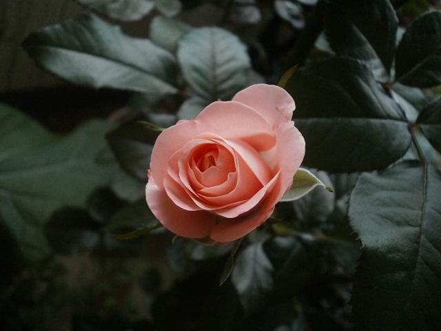 ピンクバラ