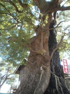 こくぞうさんの木
